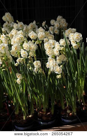 Double Daffodil Narcissus X Hybridus In The Garden Of Flowers Shop.