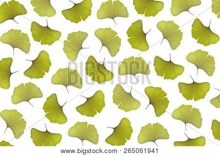 Ginkgo Leaf, Ginkgo Biloba, As A Background