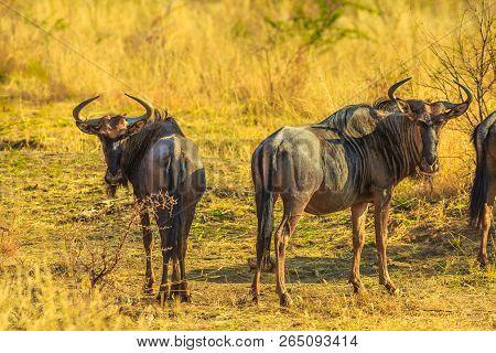 Two Adult Wildebeest, Connochaetes Gnou, Standing In The Savannah Plains, Pilanesberg National Park,