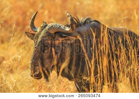 Closeup Of Wildebeest, Connochaetes Gnou, Standing In The Savannah, Pilanesberg National Park, South