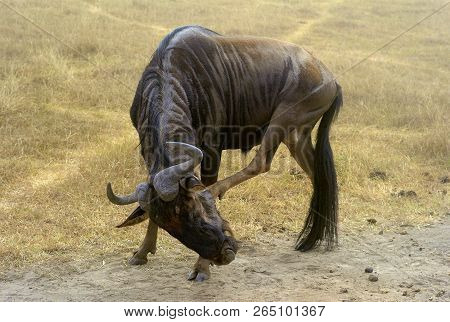 Funny Wildebeest in Ngorongoro Crater, Tanzania, East Africa poster