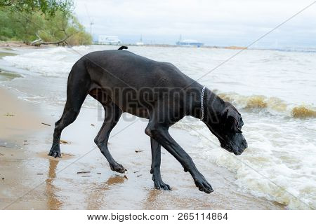 A young, energetic German Great Dane walks on the beach after a storm. The obedient pet executes commands of the owner. Harmony in communicating with animals poster