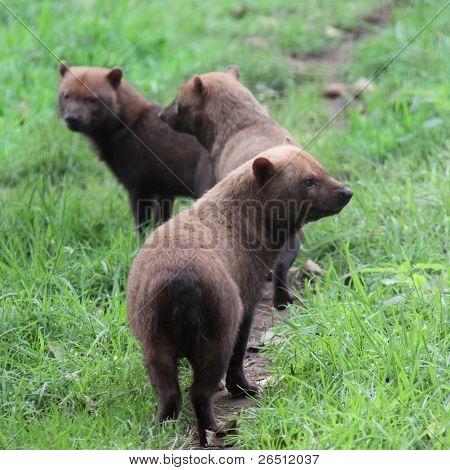 Bush Dogs