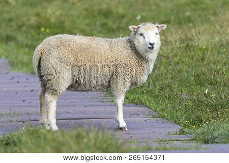Lone Sheep Walking Along A Wooden Path And Grass Of Shetland Islands