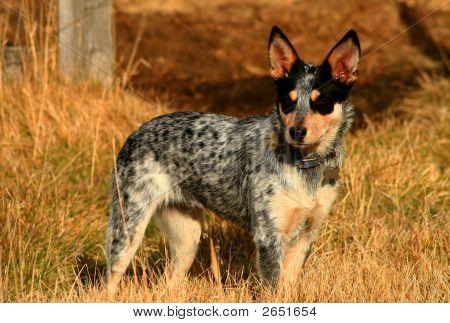 Heeler Pup 25