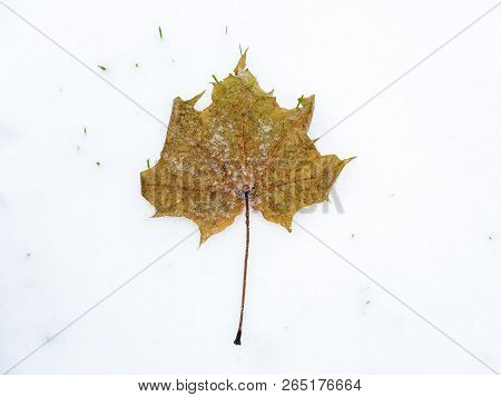 Fallen leaf covered with melting snow on freshly fallen snow. Isolated object on white background