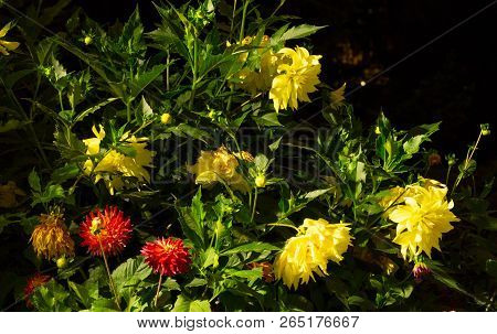 Huge Bush Of Colorful Dahlias In The Lights Of Night Lighting In The City Park