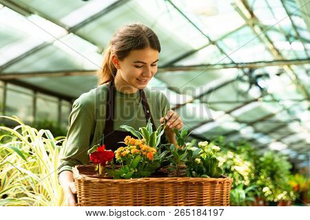 Image of pretty florist woman 20s wearing apron carrying basket with plants while working in conservatory poster