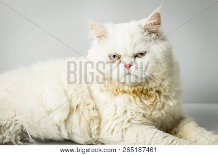 White Persian Cat With Wool That Frown On White Background. Persian Male Cat Fluffy White In The Stu