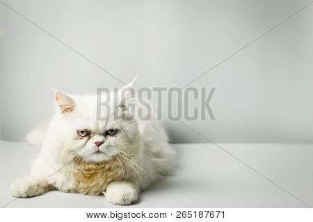 White Persian Cat With Wool That Frown On White Background.