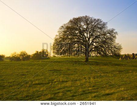 Oak Tree Early Morning