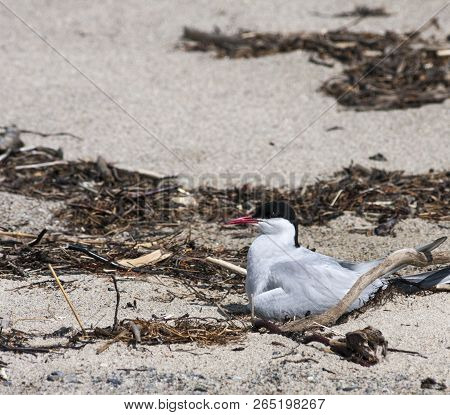 Arctic Tern Next To Her Nest Protecting Her Egg From Predators. Sand And Seaweed.