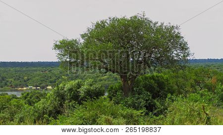 A Large Tree Growing Out Of The Jungle In Murchison Falls National Park, Uganda.  In The Distance Th