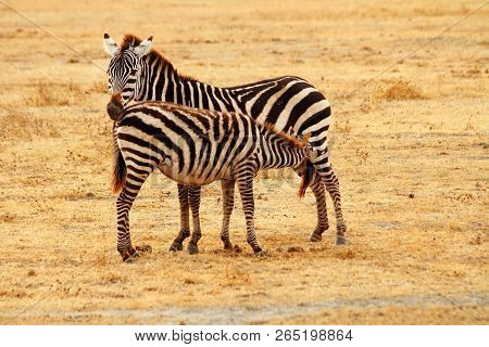 A Mother Zebra Stands On The Serengeti Plains While Her Baby Feeds From Her.
