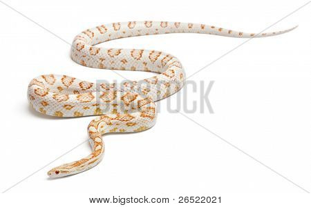Candy cane Corn Snake or Red Rat Snake, Pantherophis guttatus, in front of white background poster