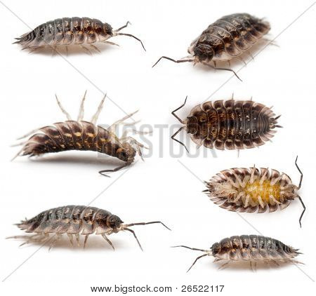 Collage of Common woodlouse, Oniscus asellus, in front of white background poster