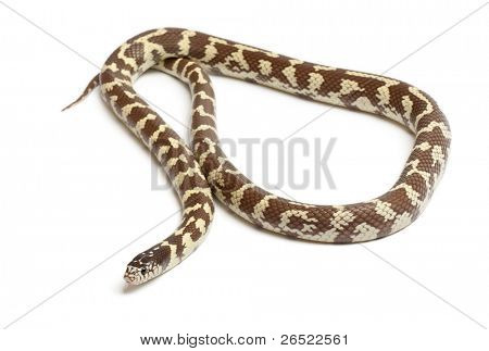 Banana eastern kingsnake or common kingsnake, Lampropeltis getula californiae, in front of white background