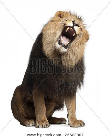 León, Panthera leo, 8 años de edad, rugiendo frente fondo blanco