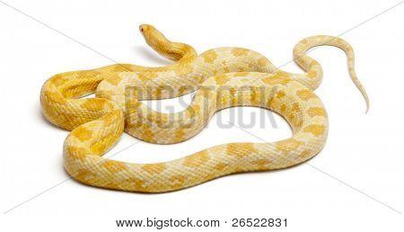 Butter Mothley Corn Snake Images, Illustrations & Vectors