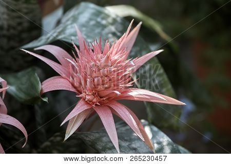 The Aechmea Bromeliacea Plant (also Known As Aecmea Or Ecmea)