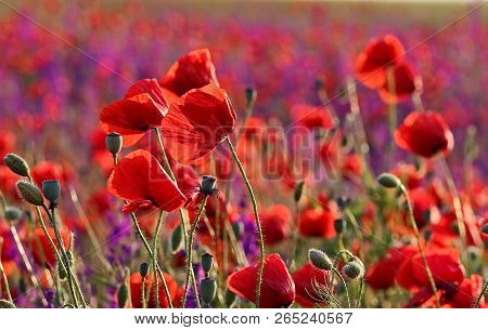 Red Poppy Field. Scarlet Poppies Of Issyk-kul Lake. Poppy Occurs In Temperate, Subtropical And Less