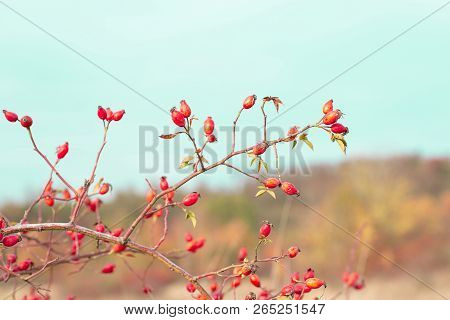 Romance Autumn Nature Scene With Red Brier