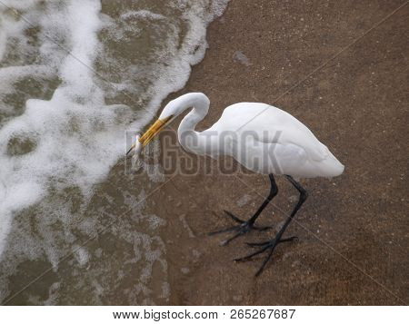A Great White Egret Catches A Fish At The Base Of A Secondary Spillway Below The Great Dam And Main