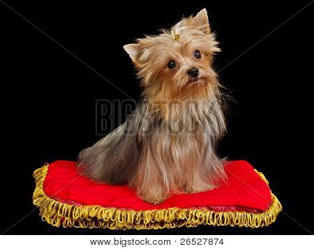 Royal dog on red cushion against black background