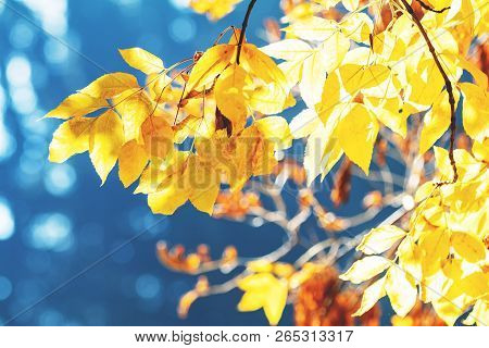 Beautiful Amazing Sunny Autumn Background With Yellow Fall Leaves Against Blue Sky, Backlight, Bokeh