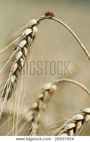 Ladybird On The Top Of Grain