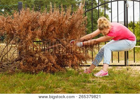 Woman gardener removing and pulling withered dried thuja tree from her backyard. Hard yard work around the house poster