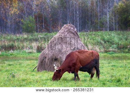 Hay Harvesting For Private Sector (small Farm). Stack Of Dry Hay And Cow Are Fed On Hayfield