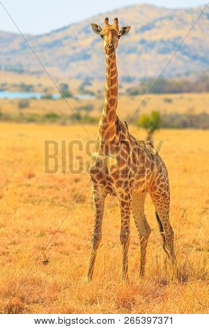 Front View Of African Giraffe Standing In Pilanesberg National Park With Savannah Landscape On Blurr