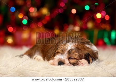 Cute Sleeping Bichon Havanese Puppy Dog Is Dreaming About Christmas