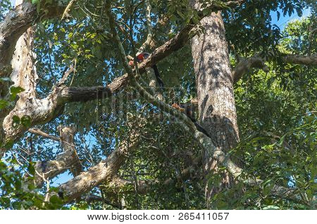 The Indian Giant Squirrel, Or Malabar Giant Squirrel, Is A Large Tree Squirrel Species Genus Ratufa
