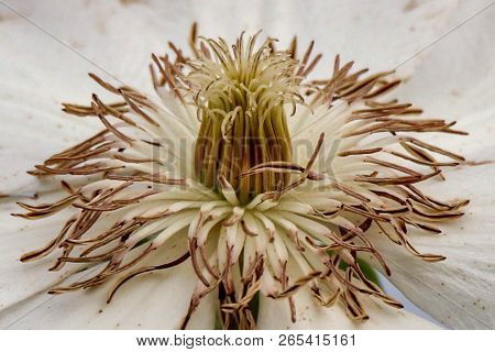 White And Brown Clematis Flower, Closeup, Macro