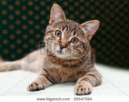 Tabby Cat Laying And Looks