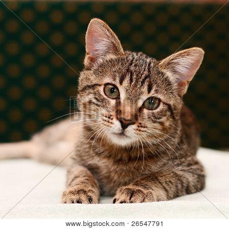 Tabby Cat Watching