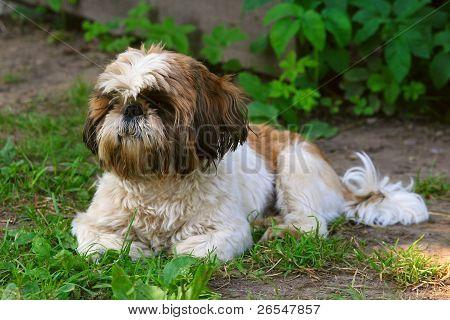 Shih Tzu Dog On Green Grass