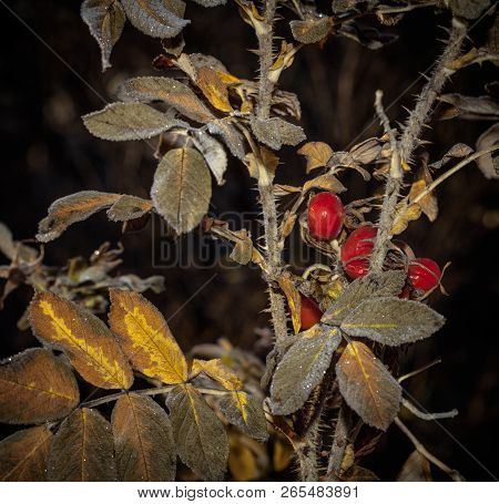 Closeup, Macro On Colorful Red Dog Rose, Rosehip In Autumn. Some Frost, Wet Surface Is Visible.