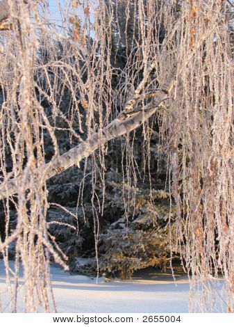 Frosted Birch Tree