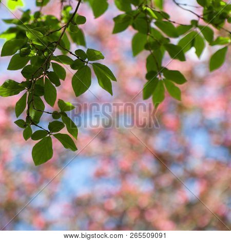 Spring Blur Pink And Blue Bokeh Square Background With Blooming Tree, Sky And Green Branches With Le