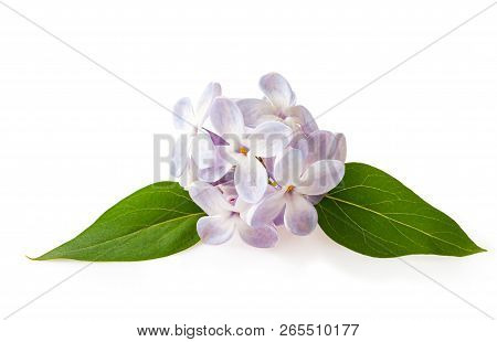 The Lilac Flowers Spring Blossom Close-up Isolated