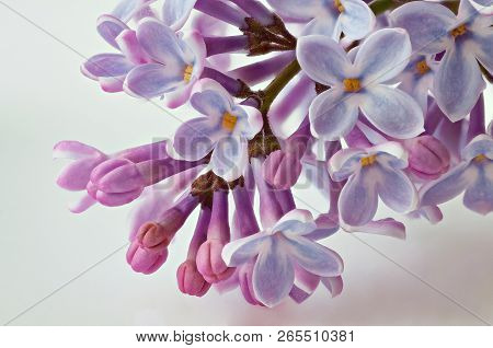 Purple Lilac Flowers Spring Blossom Close-up Background