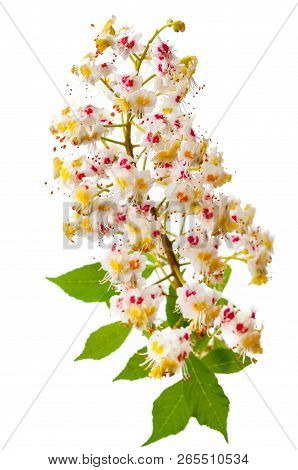 Chestnut Tree Flower With Leaves Isolated On White Background