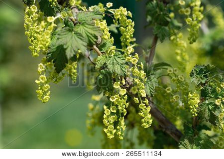 Branches Of A Blooming Black Currant In A Garden In The Spring , Close-up Branches Currants With Sel