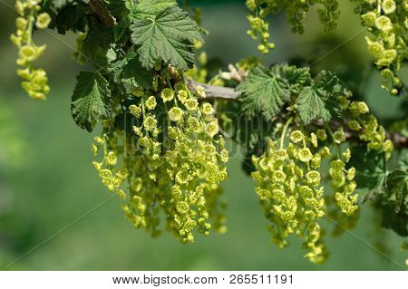 Blooming Black Currant Bush In A Spring Garden. Flowers Black Currant. Close-up Branches Currants Wi