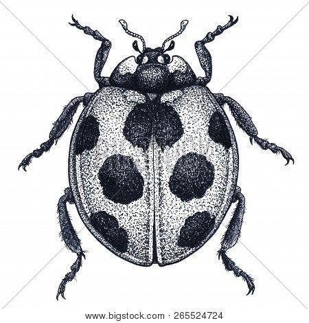 Ladybug Tattoo Art. Ladybird Illustration. Lady Beetle Tattoo. Coccinellidae. Dot Work Tattoo. Insec