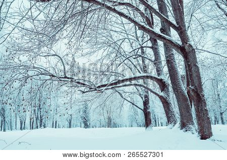 Winter landscape with falling snow - wonderland winter forest with snowfall over winter grove. Snowy winter scene. Winter forest tress in cloudy winter day