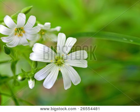 white flowers (Stellaria media)